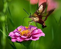 Hummingbird Clearwing (Hemaris thysbe) moth feeding on a Zinnia flower. Image taken with a Nikon D850 camera and 300 mm f/2.8 VR lens + 2.0 TC-EIII teleconverter