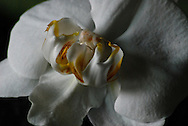 A large white phalaenopsis flower has a mutated double-center structure