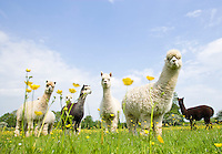 flock or group of Alpaca