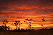 A fiery sunset colors the sky above several slash pine trees (Pinus elliotti) in the Pinelands of the Florida Everglades. Pine trees cannot survive if submerged for extended periods, and therefore grow only at the highest elevations in the Everglades – only a few feet higher than the lowest points. Slash pine trees are specially adapted to survive fires, however, which destroy invasive species.