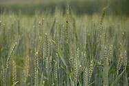 Wheat Fields in Sopsokha Village, Punakha District, Bhutan