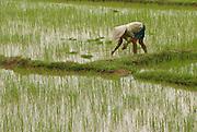 Planting rice near Hanoi, Vietnam
