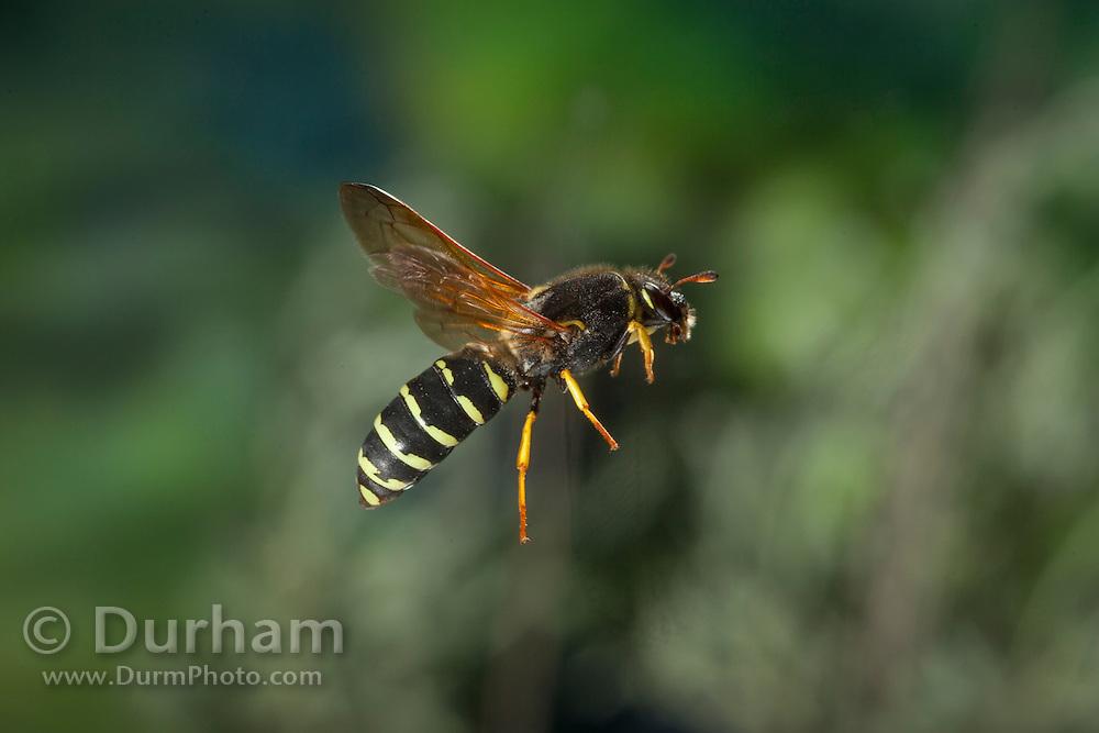 A pollen wasp (Pseudomasaris vespoides) photographed via permit at Big Hole National Battlefield, Montana.