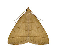 72.053 (2489)<br /> Fan-foot - Herminia tarsipennalis