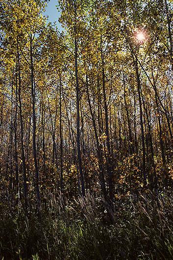 Poplar or Aspen(Populas tremula) forest in northern Minnesota.