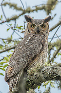 A female great horned owl stares down from its perch in an oak tree.