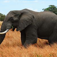 Bull elephant posing in Ngorongoro Crater in Tanzania.