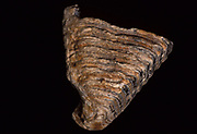 Mammuthus Tooth, Fossil, Miocene Pleistocene period time, on black background, cut out, 10 Million Years Ago