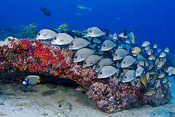 A school of Ceylon Sweetlips, Plectorhinchus ceylonensis, hovers in formation, accompanied by an Emperor Angelfish, Pomacanthus imperator. Campbell's Shoal, Andaman Islands, India, Andaman Sea, Indian Ocean