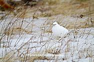 00841-00105 Rock Ptarmigan (Lagopus mutus) Churchill Wildlife Management Area, Churchill, MB Canada