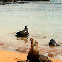 Three Galapagos Sea Lions play on the shore of Bartholomew Island. Ecuador, South America.