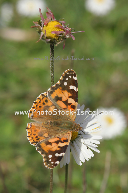 Vanessa cardui Butterfly Also known as Painted Lady shot in Israel, Winter November
