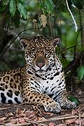 A jaguar, Panthera onca, resting in the shade and looking at the camera.