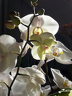 Elegant white phalaenopsis orchid flowers catch afternoon sunlight in their delicate curved petals