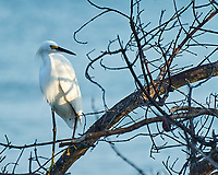 Snowy Egret (Egretta thula). Image taken with a Nikon D3s camera and 70-300 mm VR lens.