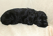 seven weeks old black American Cocker Spaniel puppy