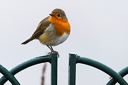 © Licensed to London News Pictures. 07/12/2020. London, UK. A robin sitting on a rail in Finsbury Park, north London during foggy weather. Freezing cold and foggy weather is forecast across many parts of the UK. Photo credit: Dinendra Haria/LNP