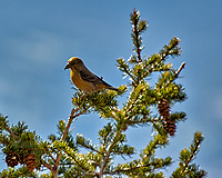 Red Crossbill in Rocky Mountain National Park. Image taken with a Nikon D2xs camera and 70-200 mm f/2.8 lens with TC-E 1.4 teleconverter (ISO 100, 280 mm, f/4, 1/750 sec).