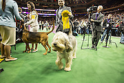 New York, NY - 16 February 2015. Otterhound Aberdeens Under The Influence, known as Dui, leaves the ring with his owner after winning third place in the hound group judging of the 139th Westminster Kennel Club dog show.
