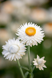 Helichrysum bracteatum 'White' - Strawflower, Paper Daisy, Everlasting Flower