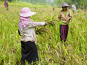 Hmong women harvesting 'khao kam' (brown sticky rice) in the village of Ban Chalern, Phongsaly province, Lao PDR. Slash and burn cultivation or 'hai' in Lao PDR consists of cutting the natural vegetation, leaving it to dry and then burning it for temporary cropping of the land, the ash acting as a natural fertiliser. Shifting cultivation practices, although remarkably sustainable and adapted to their environment in the past, have come under increasing stress in recent decades and are now starting to be a major problem in Lao PDR, causing widespread deforestation and watershed degradation. The remote and roadless village of Ban Chalern is situated along  Nam Ou river and will be relocated due to the construction of the Nam Ou Cascade Hydropower Project Dam 7.