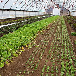Mesclun, turnips, and beets grow in a greenhouse in South Hampton, New Hampshire. Heron Pond Farm greenhouse.  February.