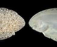 Sand Sole -  Pegusa lascaris
