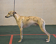 Pedigree Whippet dog in standard stance on display at a Dog Show