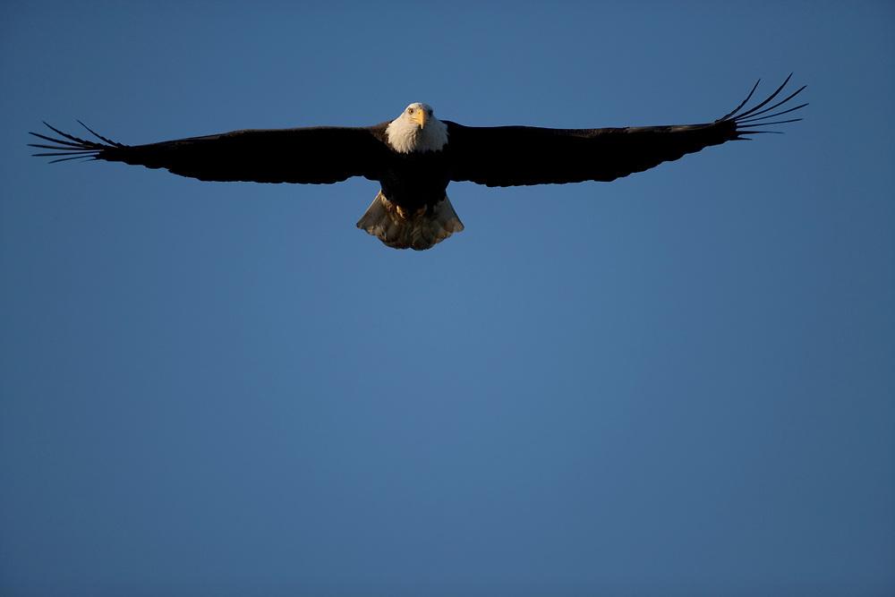 USA, Alaska, Homer, Bald Eagle (Haliaeetus leucocephalus) in flight above Kachemak Bay on winter morning