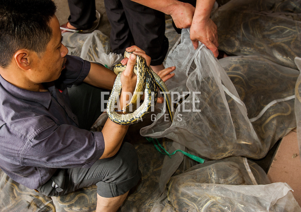 Snakes are consumed every years across China, Vietnam, Indonesia and other parts of Asia for their meat but also their skin, that is used to make high end, shoes, boots, and handbags. Photo: Paul Hilton / Earth Tree Images