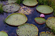 Giant water lilly (Victoria amazonica) with second day pink flower and different age of the giant leaves. Photo from Porto Jofre, Pantanal, Brazil.