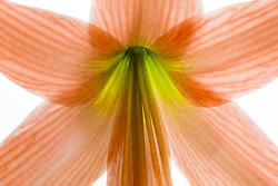 Amaryllis belladonna#7