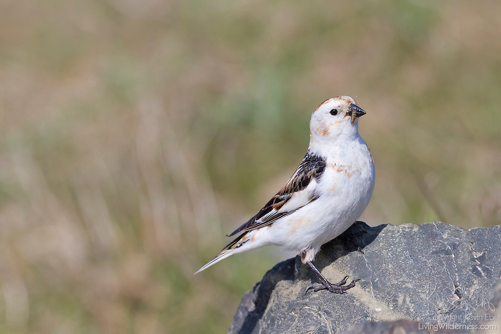 A snow bunting (Plectrophenax nivalis) feeds on an inchworm on the Icelandic island of Grímsey. Snow buntings breed in the high-Arctic tundra. This particular snow bunting is a female displaying its breeding plumage.