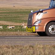 An eighteen wheeler, semi truck passes a herd of pronghorn antelope in an agricultural field along Interstate I-90.  Montana.