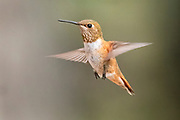 Female rufous hummingbird in flight, Rio Grande Nature Center, Albuquerque, New Mexico.