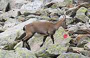 Capra ibex (Steinbok) adult female walks above Chamonix, France, in the Reserve Naturelle Aiguilles Rouges, on the Chamonix-Zermatt Haute Route (High Route), Europe.