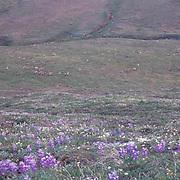 Barren Ground Caribou, (Rangifer arcticus) Porcupine herd. Arctic National Wildlife Refuge. ANWR. Alaska.