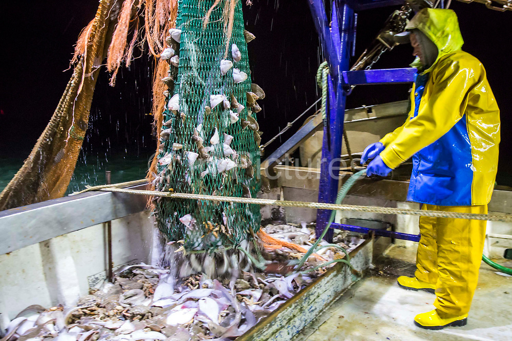 Emptying one of the nets of the second catch of the evening.  Luke, a Folkestone based fisherman out trawling for a 12 hour night solo shift on a fishing trip in his boat Valentine FE20, Hythe Bay, the English Channel, United Kingdom.