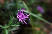 A purple flower seen near Beges in the Picos de Europa, a late-flowering specimen (it was October)