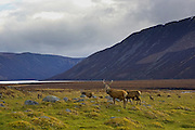 Red deer grazing by Lock Muick in Glenmuick, Aberdeenshire, Scotland RESERVED USE - NOT FOR DOWNLOAD -  FOR USE CONTACT TIM GRAHAM
