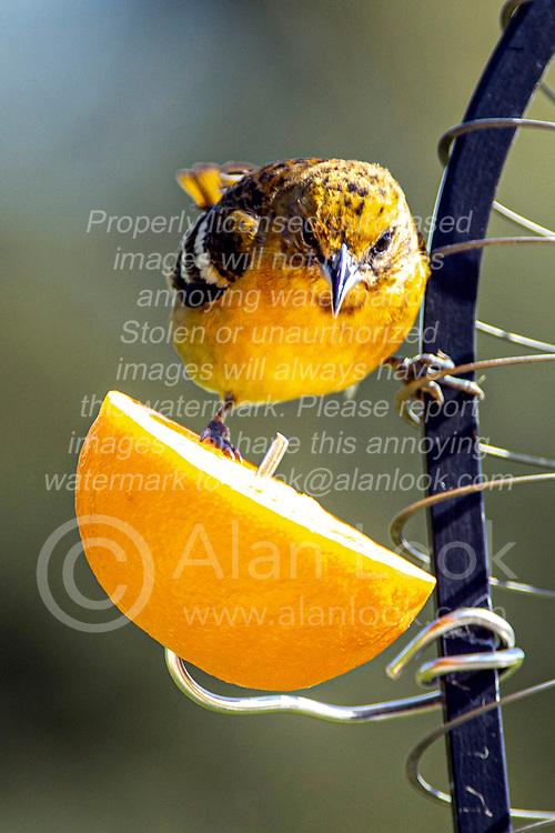 Baltimore Oriole (Icterus galbula)