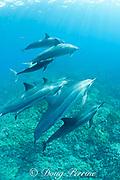 pod of Hawaiian spinner dolphins or long-snouted spinner dolphins, or Gray's spinner dolphins, Stenella longirostris longirostris, swimming over coral reef, Keauhou, Kona, Hawaii ( the Big Island ) Central Pacific Ocean
