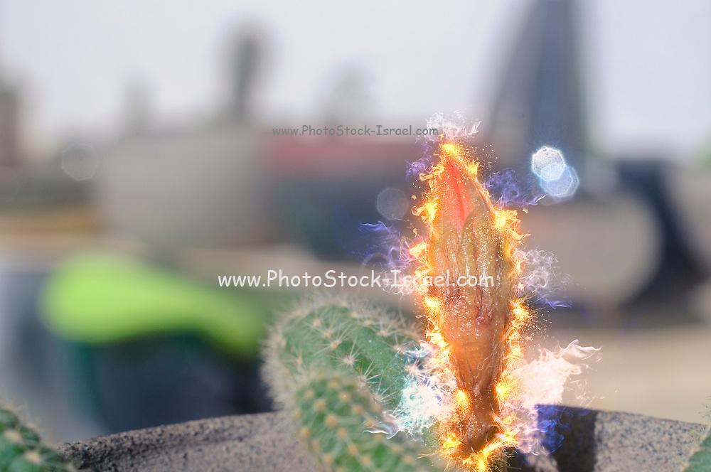 Digitally enhanced image of a Peanut Cactus (Echinopsis chamaecereus) with an orange flower bud engulfed in flames