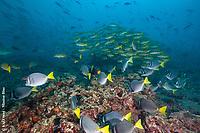Schooling Fish, Cousins Rock, Galapagos National Park