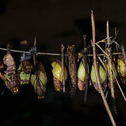 Pupa of the Atrophaneura Antenor Butterfly in Madagascar.