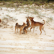 A dingo reunite with his pack on 75-Mile Beach, Fraser Island, Australia. The lone dingo was separated during a brush fire, and had been absent from the pack for days.