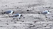 Franklin's gull (Leucophaeus pipixcan) on the sandy beach of Puerto Baquerizo Moreno. This visiting gull is in non-breeding plumage. Puerto Baquerizo Moreno, San Cristobal, Galapagos, Ecuador.