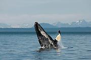 Humpback Whale Breeching, Icy Strait, Alaska