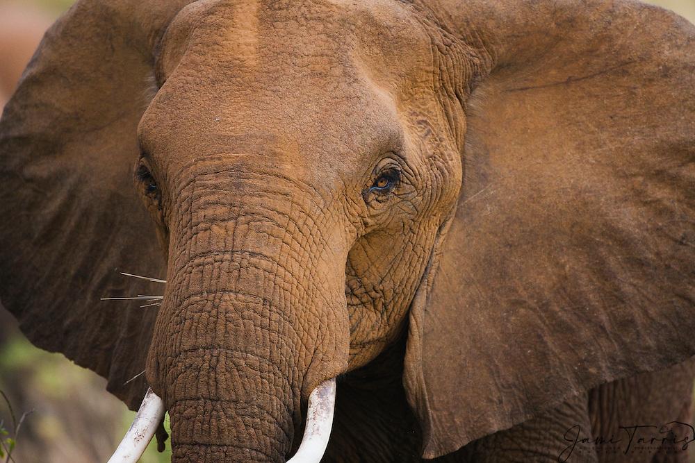 A close-up portrait of an African elephant (Loxodonta africana) after dusting with the red clay soil of Samburu, Samburu, Kenya,Africa