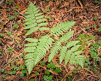 Ferns in Humboldt Redwoods State Forest. Image taken with a Nikon D200 camera and 18-70 mm kit lens.